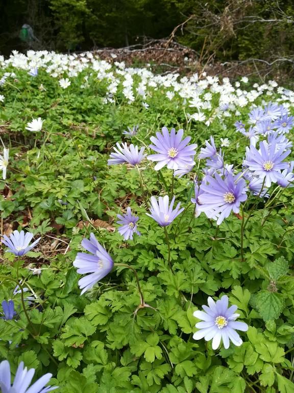 anemone apennina o dell'appennino