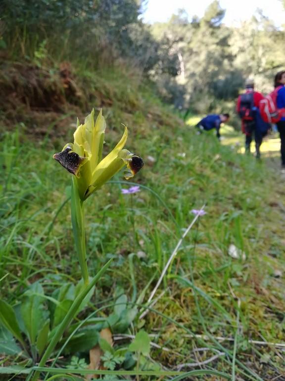 bella vedova o iris bocca di lupo