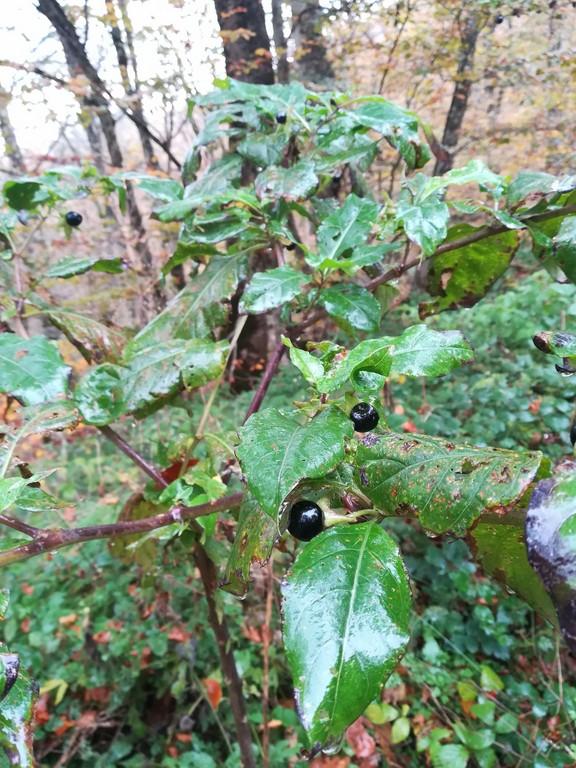 pianta e frutto di Belladonna-pianta velenosa (Copia)
