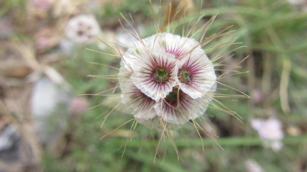 vedovina crenata semi